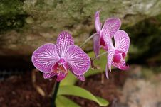 Free Vivid Striped Violet Orchid Flowers Stock Images - 19146324