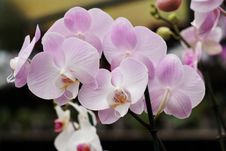 Free Delicate Pink Orchid Flowers Stock Images - 19146354