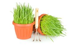 Free Green Grass In A Pot Royalty Free Stock Images - 19148199