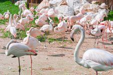 Free Pink Flamingos Standing Royalty Free Stock Photos - 19149978