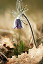 Free Black Pulsatilla Stock Photo - 19157660
