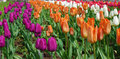 Free Colorful Tulips Stock Images - 19157904