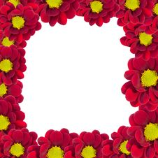 Free Red Chrysanthemum Stock Photography - 19157612