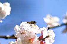 Free Honey Bee On Cherry Blossom Stock Photo - 19158130