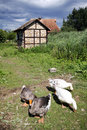 Free Gooses In The Courtyard Royalty Free Stock Photo - 19165935