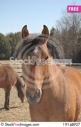 Free Brown Horse Royalty Free Stock Photography - 19168927
