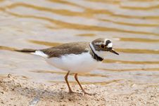 Free Little Ringed Plover Royalty Free Stock Images - 19161669