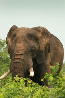 Free African Elephant Feeding Royalty Free Stock Images - 19161699