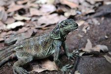 Free Lizard Royalty Free Stock Image - 19162536