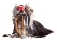 Free Yorkshire Terrier Stock Images - 19163624