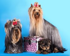 Free Yorkshire Terrier Puppie And Dog Royalty Free Stock Images - 19163659