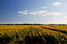 Free Sunflower Field Stock Photo - 19164010