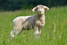 Free Cute Lamb Royalty Free Stock Images - 19165499
