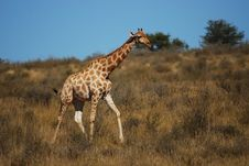 Free Giraffe (Giraffa Camelopardalis) Royalty Free Stock Photography - 19166417