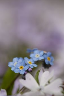 Free Little Blue Flowers Royalty Free Stock Images - 19167419