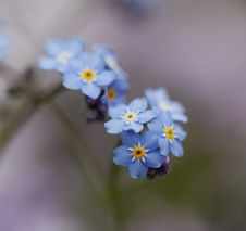 Free Little Blue Flowers Stock Images - 19167434