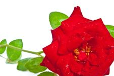 Free Red Rose Closeup Isolated On White Royalty Free Stock Photo - 19167785