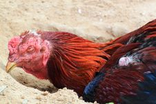 Free Chicken Sleeping Stock Image - 19167981