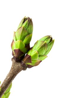 Free Lilac Buds Royalty Free Stock Image - 19167986