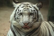 Free White Tiger Portrait Royalty Free Stock Photography - 19168097