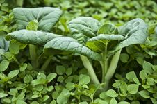 Free Pack Choy Stock Image - 19168251