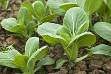 Free Green Pack Choy Royalty Free Stock Photo - 19168265