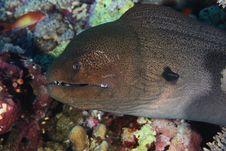Javanese Moray Eel - Red Sea, Egypt Stock Photography