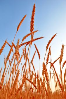 Free Wheat Royalty Free Stock Images - 19168729