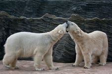 Free Playing Polar Bears Royalty Free Stock Photos - 19169198