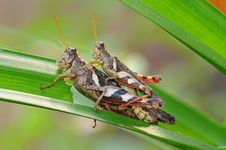 Free Mating Grasshopper Stock Photo - 19169800