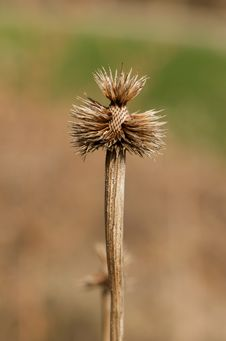 Free Leftover Thistle Plant. Royalty Free Stock Image - 19169896