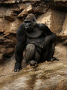 Free Gorilla Stock Photography - 19176862