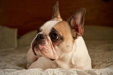 Free French Bulldog Stock Photos - 19170703