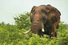 Free African Elephant Feeding Royalty Free Stock Image - 19171306