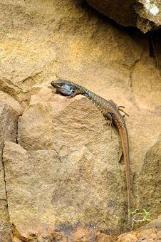 Free Tenerife Lizard (Gallotia Galloti) Stock Photos - 19174643