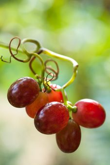 Grapes Hanging On A Vine Stock Photo