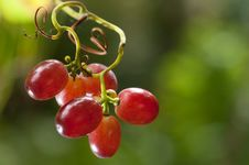 Free Grapes Hanging On A Vine Royalty Free Stock Photos - 19175688