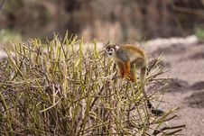 Free Common Squirrel Monkey Stock Images - 19176284