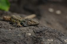 Free Tenerife Lizard (Gallotia Galloti Eisentrauti) Royalty Free Stock Image - 19176356