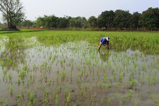 Farmer Working In The Paddyfield Royalty Free Stock Photography