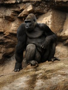 Free Gorilla Stock Photography - 19176862