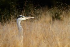Free Grey Heron Royalty Free Stock Photography - 19177077