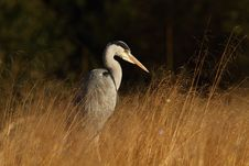 Free Grey Heron Stock Photo - 19177090