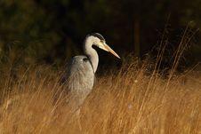 Free Grey Heron Stock Photo - 19177090