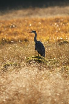 Free Grey Heron Stock Photo - 19177130