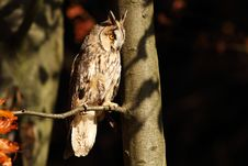 Free Long-eared Owl Royalty Free Stock Image - 19177236