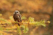 Free Owl Stock Image - 19177421
