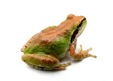 Free Green And Copper Froggy Stock Photography - 19178832