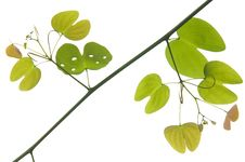 Free Green Leaf Of Vine Stock Photos - 19179203