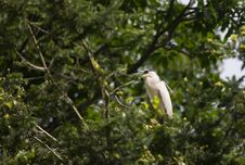 Free Egrets And Forests Royalty Free Stock Photography - 191744937